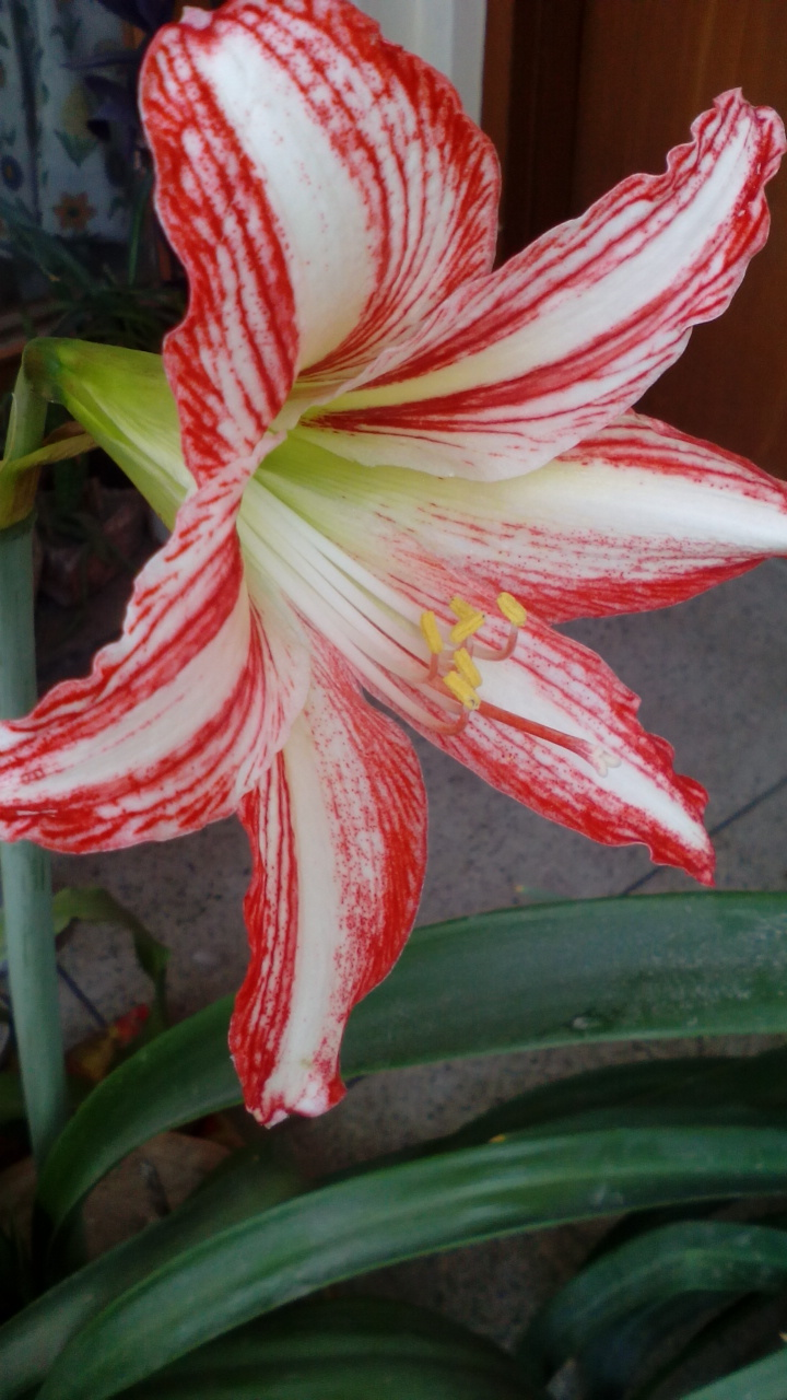 Amaryllis bulbs Groveflora India