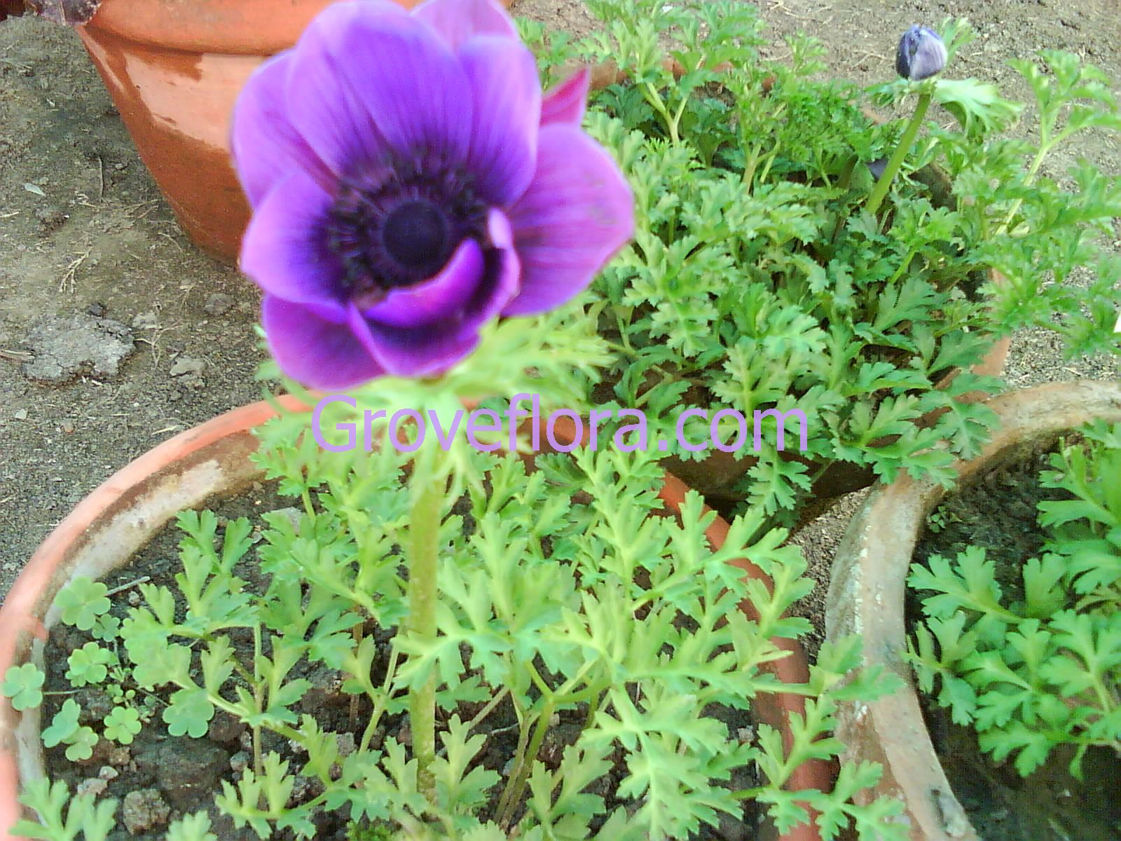 Blue Anemone flower bulbs India