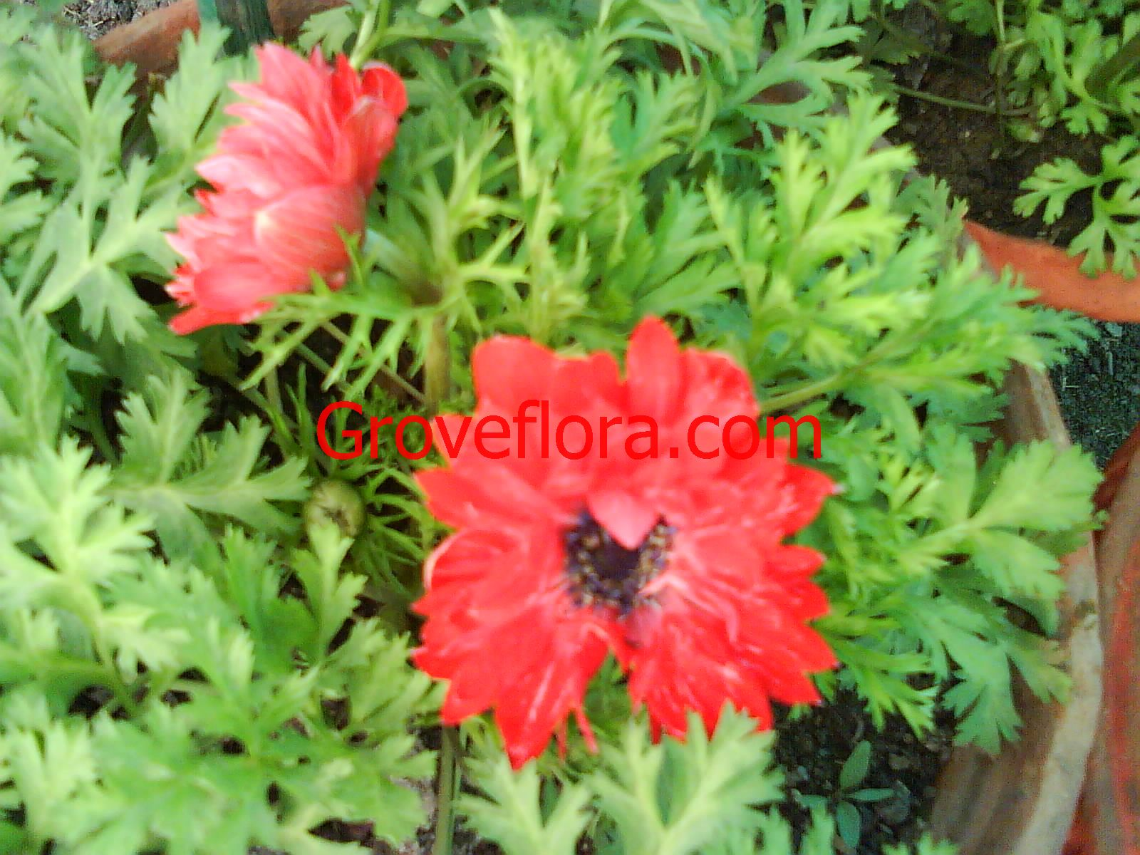 Red Anemone bulbs India
