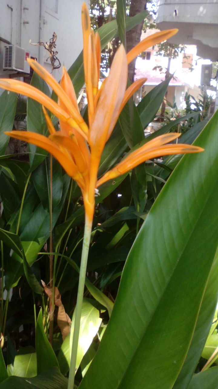 Bird of Paradise flower bulbs India