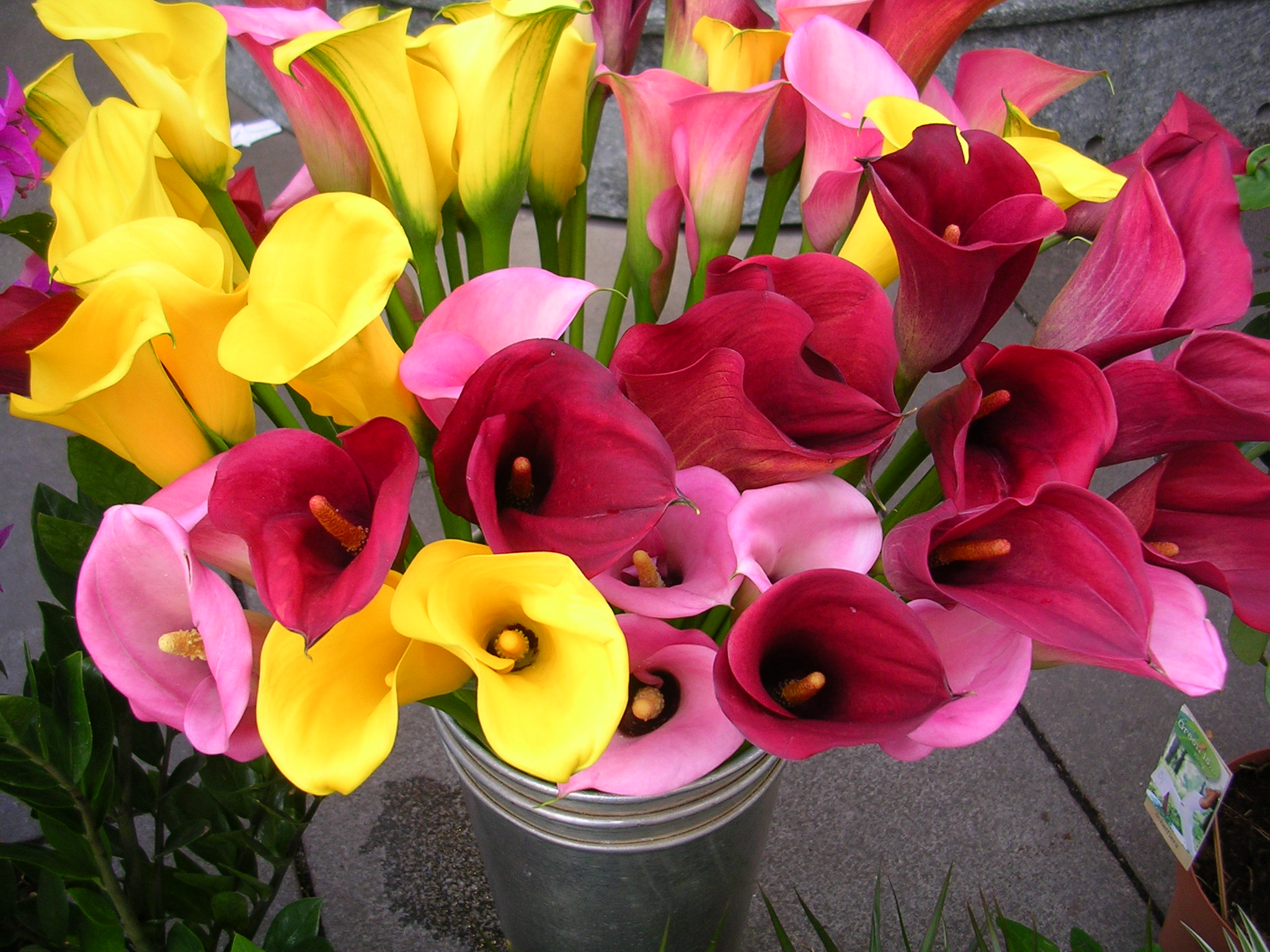 Flower bulbs online india buy seeds online india terrace gardening calla lily flower bulbs india izmirmasajfo
