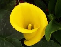 Calla Lily bulbs India
