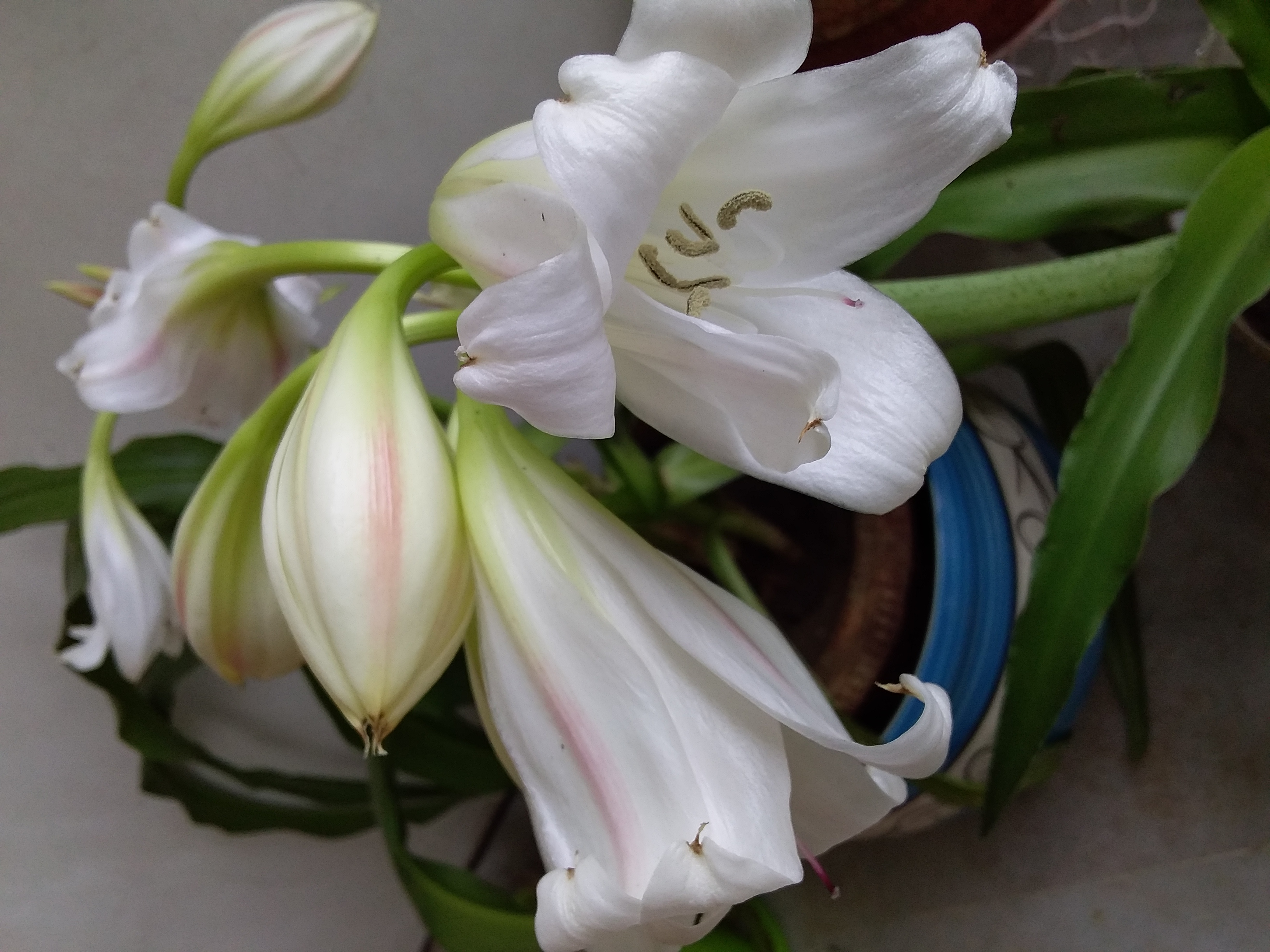 Crinum Lily bulbs India