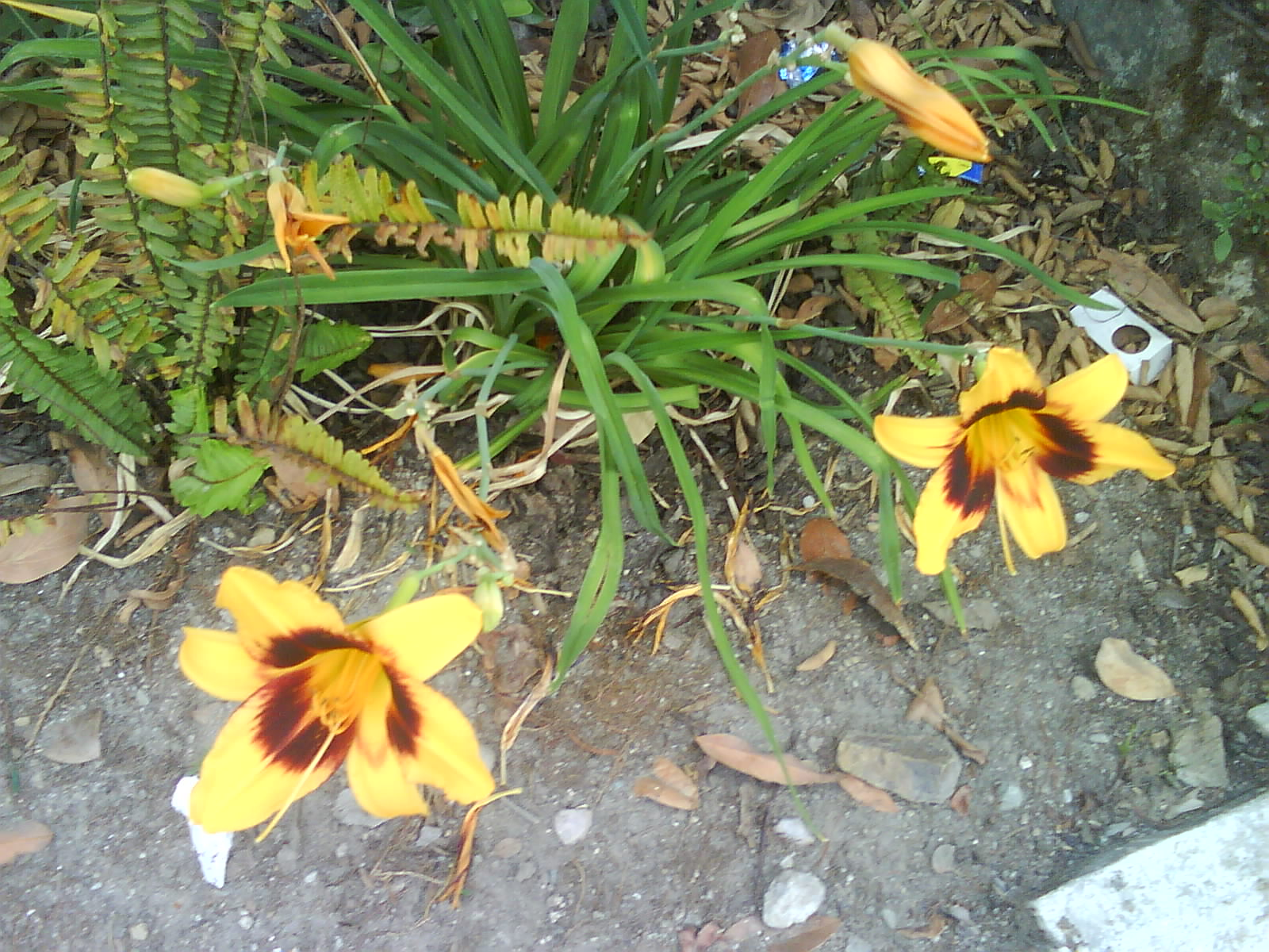 day Lily bulbs India