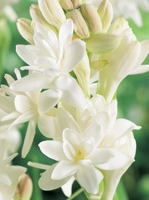 Tuberose bulbs India