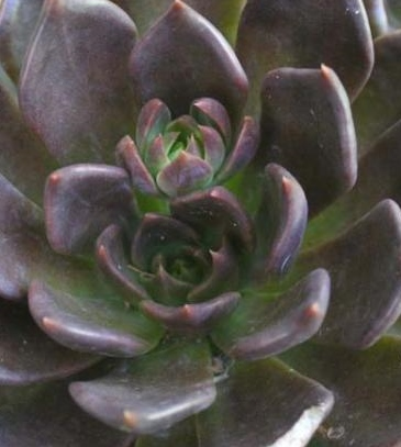 Echeveria Black Prince   Succulent Plant India