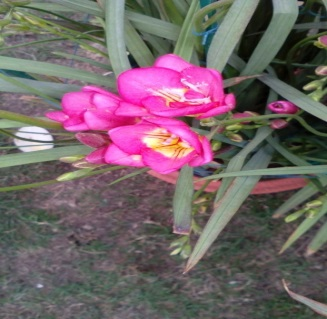 Flower Bulbs Online India Buy Seeds Online India Terrace