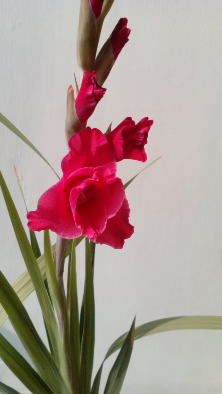 Gladioli flower bulbs India