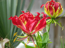 Gloriosa flower bulbs India