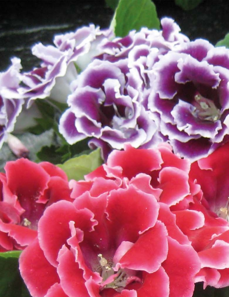 Gloxinia flower bulbs India