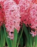 Hyacinth flower bulbs India