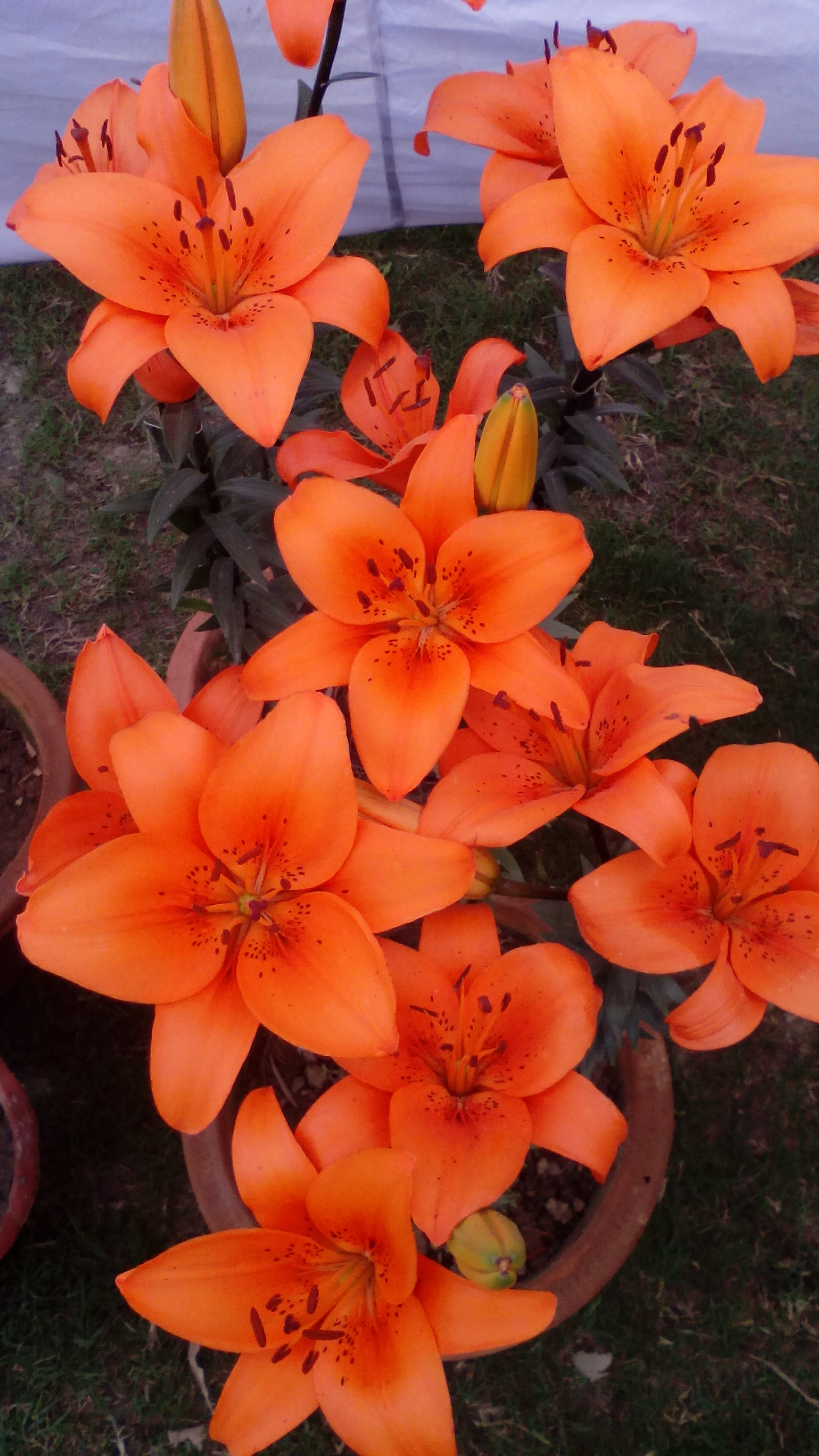 Liliums_asiatic_Orange bulbs India