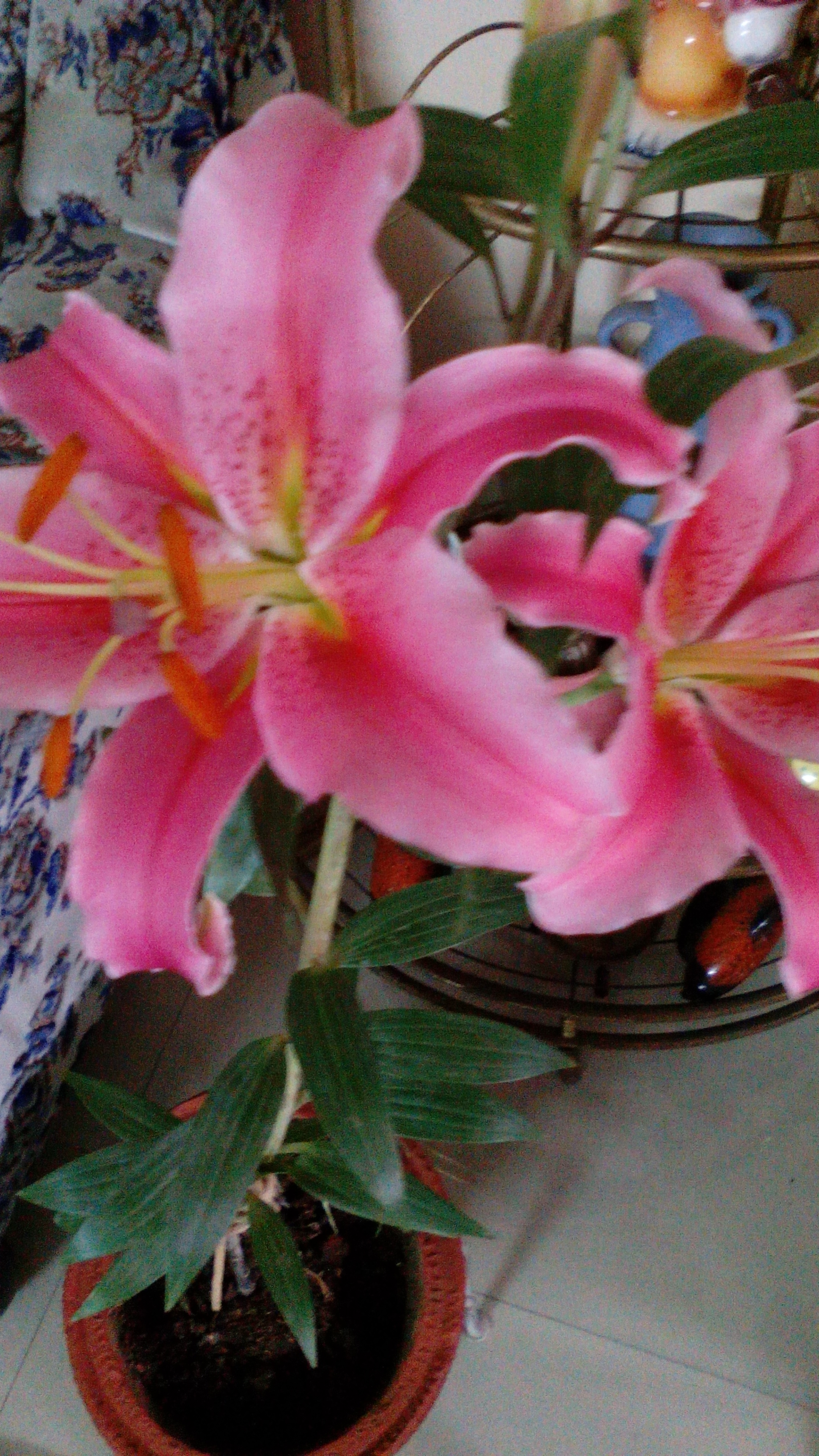 Oriental Lilium flower bulbs India