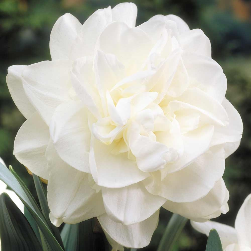 White_Daffodil flower bulbs India