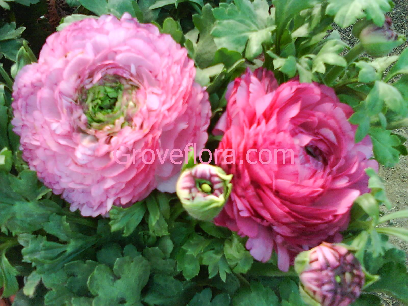 Ranunculus Groveflora flower bulbs India