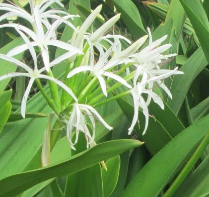 Spider Lily bulbs India