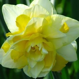 White_Yellow_Daffodil bulbs India