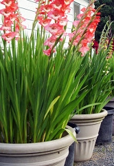 Gladioli flower bulbs Groveflora India