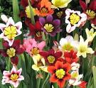 Sparaxis flower bulbs India