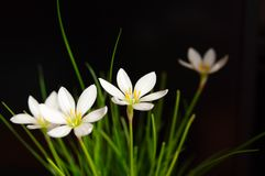 Zephyranthes Rain Lily bulbs India